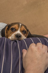 DSC05883 (johnjmurphyiii) Tags: 06416 beagle connecticut cromwell humphrey kerry originalarw shelly sonyrx100m5 spring usa dog johnjmurphyiii puppy