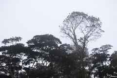 Blue-headed parrot (Kusi Seminario) Tags: loro bird ave pajaro birding wildlife tree arbol madrededios tambopata peru perú southamerica sudamerica nature naturaleza outdoors amazon amazonia amazonas rainforest selva jungle