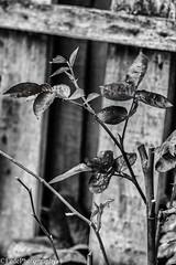 Fogliette (federicoloforte) Tags: fogliette fiore basilico hdr highdynamicrange altagammadinamica viveza2 silverefexpro2 googlehdrefexpro2 nikcollection piantina bw bwphotography