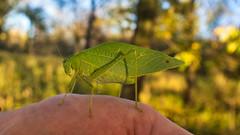Microcentrum rhombifolium (jcook83) Tags: maxwell iowa unitedstates insects