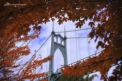 Fall at St. John's Bridge (Matt Straite Photography) Tags: bridge st johns portland oregon stump rose columbia cathedrial color fall autumn red tree season outside outdoor nature landscape
