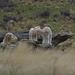 Hi Mum just playing on the rock flkr (Aussie Nature Pics) Tags: farmanimals sheep babyanimals rural newzealand scenic