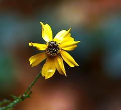 It Rained This Morning - EXPLORE #39, 10.20.19. (Kazooze) Tags: flower macro bokeh coreopsis raindrops rain drizzle yellowflower garden