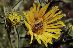 California sunflower with bee (TJ Gehling) Tags: insect hymenoptera bee plant flower asterales asteraceae sunflower californiasunflower helianthus helianthuscalifornicus canyontrailpark elcerrito