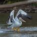 AMERICAN WHITE PELICAN (nsxbirder) Tags: caesarcreekstatepark americanwhitepelican ohio birds clintoncounty