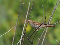 Plaintive Cuckoo (ChongBT) Tags: nature natural wild life wildlife animal bird avian ornithology watching birdwatching olympus malaysia cacomantis merulinus threnodes plaintive cuckoo female