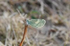 Dainty Sulphur (jdf_92) Tags: indiana lakemonroe fairfax butterfly daintysulphur nathalisiole
