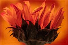Red Sunflower (Anvilcloud) Tags: redsunflower sunflowers photoshop hss