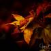 Autumn-39104 (Jeffrey Balfus (thx for 5.5M views)) Tags: sony90mm autumn colors sonya9 losgatos california unitedstatesofamerica explore inexplore w100f