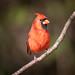 130A2132 (Ricky Floyd) Tags: cardinal canon sigma