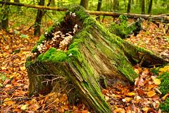Alles vergänglich (KaAuenwasser) Tags: oktober alt laub herbst natur moose grün pilze holz wald blätter baum hdr moos leben moder stamm wurzeln eiche 2019 waldboden vergänglich baumstumpf entwurzelt fäule buchenwald buchen herbstlich