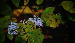 """Bluemink ('Ageratum houstonianum')"" (rdwaters) Tags: wildflowers columbiasc broadrivertrailatriverfrontpark ageratumhoustonianum bluemink sigmadc18125mmf3856hsm slta58 sony"