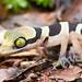 Cyrtodactylus australotitwangsaensis [Bent-toed Gecko] (kkchome) Tags: herping herp herpetology reptile cyrtodactylus australotitwangsaensis benttoed gecko southeast asia malaysia pahang nature wildlife fauna