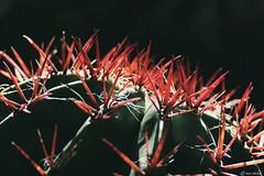 Red Spines Barrel Cactus (Ken Mickel) Tags: arizona barrelcactus beautiful boycethompsonarboretum cacti cactus kenmickelphotography outdoors plants closeup nature photography