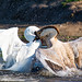 Bully Beat Down (Alice_McCAnn) Tags: geese goose fight wildlife wildlifephotography behavior duckpond norman normanoklahoma oklahoma oklahomawildlife nature naturephotographer naturebynikon naturelovers water ngysaex