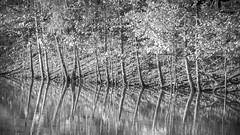 Reflection (B&W) (bspawr) Tags: autumn stlouis foliage bspawrphotography reflection loneelkpark lake fall blackwhite leaves contrast forest trees shoreline mo 2019 bspawr