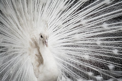 White Peacock #2 (Alice_McCAnn) Tags: white peacock peafowl peahen male dance animal bird feathers peacockfeathers portrait animalportrait birdportrait ngysaex