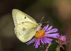Papillon Le Souci - Colias crocéus (Lucie.Pepin1) Tags: papillon butterfiy insecte wildlife fleurs flowers faune fauna nature luciepepin canon7dmarkii canon300mml