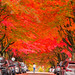 Full Bloom (mikelan1986) Tags: fall trees amazing nature natural canada landscape vancouver britishcolumbia