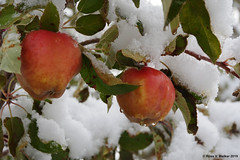 Snow on my apples (walkerross42) Tags: apples tree appletree snow cold leaves montpelier idaho bearlakecounty fruit