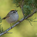 Golden Crowned Kinglet (Meadowlands Photo) Tags: