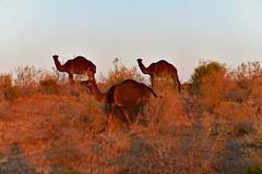"""Wild Camels on the Karakum Desert"" Turkmenistan (modsseny) Tags: sunset dusk wild desert blacksand karakum camels"