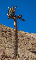 browningia candelabra - along Route 11 in northern Chile (Russell Scott Images) Tags: browningiacandelaris route11 cactus cacti chile