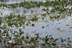 IMG_0111 (armadil) Tags: joeoverstreetboatlanding florida kenansville lily lilies waterlily waterlilies