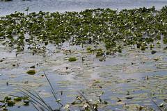 IMG_0112 (armadil) Tags: joeoverstreetboatlanding florida kenansville lily lilies waterlily waterlilies