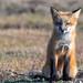 Fox Kits at play (jeff's pixels) Tags: nikon fox kits mammal nature animal wilflife bird bus car train plane