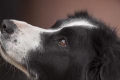 P3II9631 (Ian Luc) Tags: dog bordercollie backyard wildlife outside portrait bigma sigma500mm pentax k3