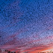 Starlings over the powerlines at dusk