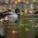 Canard Colvert - Mallard (aquevillon) Tags: