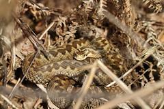Female Adder. (ChristianMoss) Tags: vipera berus adder snake reptile ocotber basking
