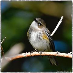 Yellow Ramp Warbler (Myrtle, winter coat) (RKop) Tags: eastforklake ohio raphaelkopanphotography d500 600mmf4evr 14xtciii handheld