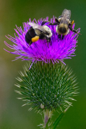 Two bees on thistle, Mill Ruins Park