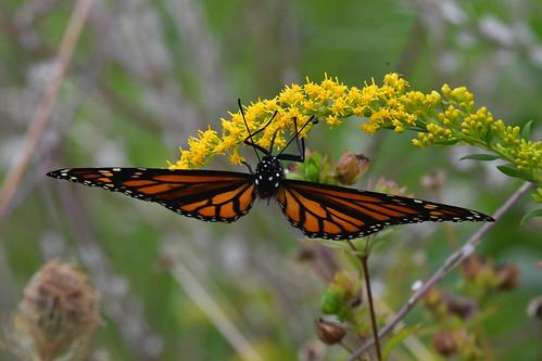 Monarch butterfly on flower, Mill Ruins Park