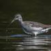 Lesser Yellowlegs  0883 (Paul McGoveran) Tags: portdover silverlake lesser yellowlegs nikon d500 500mm f4 shorebird wings nature norfolk county