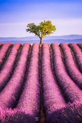 Omega & Alpha (Bilderschmied-Danz) Tags: lavender lila baum tree hügel bilderschmied purple lavendesangelvin feld field france provence rows valensole lavendel frankreich hill reihen