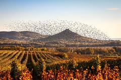 Another day in paradise (zedspics) Tags: zedspics hegymagas magyarország hungary hongarije szászibirtok birds nature szigliget autumnleaves autumn fall balaton vineyard szászipince