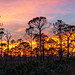 Fire sunset forest - Jonathan Dickinson State Park, Florida (LaurieD326) Tags: sunset florida floridasunsets outdoors nature woodlands slashpine pine pines jonathandickinsonstatepark floridastateparks stateparks winterinflorida january forest