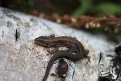 Juvenile lizard (ChristianMoss) Tags: viviparous lizard zootoca vivipara reptile eppingforest common outside