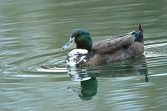 Male Mallard (deanrr) Tags: mallard malemallard nature outdoor lake water duck feathers autumn morgancountyalabama 2019