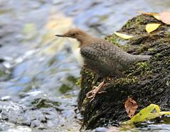 Cincle plongeur (Michel Idre - 9 millions de vues merci) Tags: oiseau bird aves ariège sinsat cincleplongeur