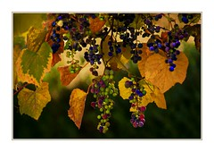 Autumn Harvest (Christina's World : updated bio) Tags: 2541 grapes harvest vines leaves textures gold goldenhour garden green topaz nature autumn october huntingtonlibraryandgardens kurtpeiser oe