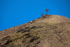 hillside with browningia candelabra - along Route 11 in northern Chile 2 (Russell Scott Images) Tags: browningiacandelaris route11 cactus cacti chile