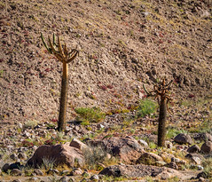 browningia candelabra - along Route 11 in northern Chile 7 (Russell Scott Images) Tags: browningiacandelaris route11 cactus cacti chile