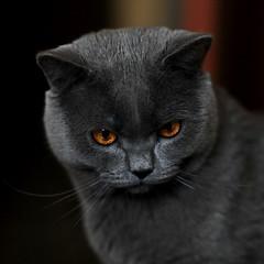 Antonio (Сonstantine) Tags: catslife britishcat cats animals catscatscats meow