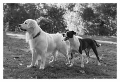 """Canem Fabulas IV"" (TBWLC Photography) Tags: fdrouet tbwlc chien dog perro cane nb bw monochrome nikon d610"