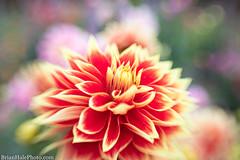 dahlia (Brian M Hale) Tags: lensbaby sweet 35 dahlia flower tower nature floral 35mm botanical outside outdoors hill botanic botany sweet35 usa garden ma bokeh massachusetts brian newengland mass hale boylston brianhalephoto